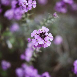 Flor de Lilas